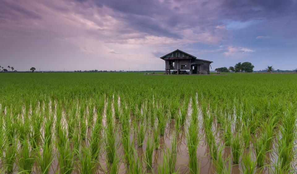 robot-eend rijstvelden